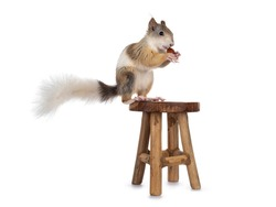 Male Japanese Lis squirrel in varied colors, sitting on little wooden stool. Holding a hazel nut in paws and eating from it.  Isolated on a white background.