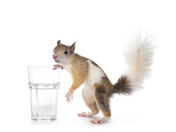 Male Japanese Lis squirrel in varied colors, standing beside glas wit water. Looking at camera. Isolated on white background.