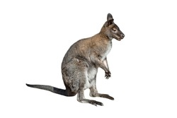 Male kangaroo isolated on white background. Big kangaroo full length, side view. The kangaroo preparing to jump. Zoo animals.