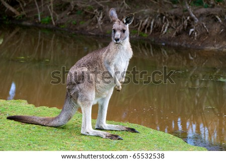 male kangaroo standing near lake