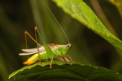 male katydid rubbing its wings to building sound