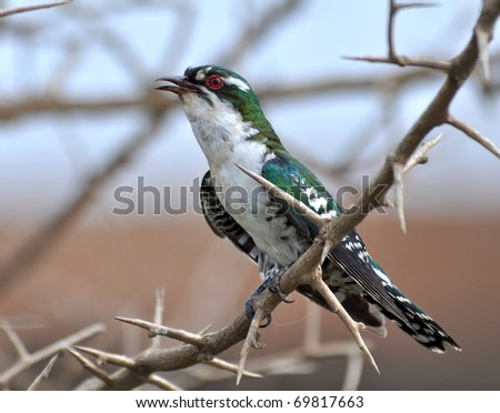 Male  Klaas`s Cuckoo (Chrysococcyx klaas) in the Kruger National Park, South Africa