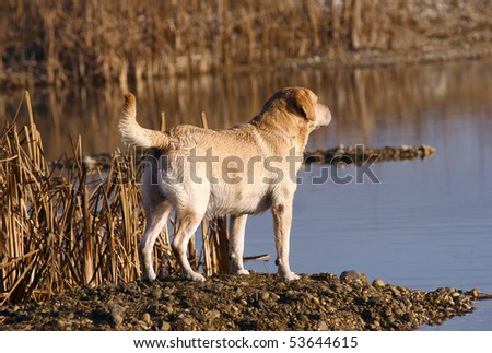 Male labrador retriever working on the field and lake