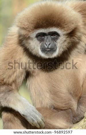 Male Lar Gibbon
