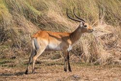 Male Lechwe Antilope Bull Standing in Moremi Game Reserve, Okavango Delta, Botswana, Africa