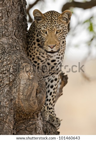 Male leopard in tree