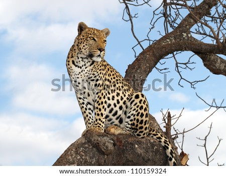 male leopard in tree - stock photo