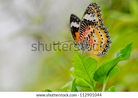 male Leopard Lacewing (Cethosa Cyane) butterfly on a leaf