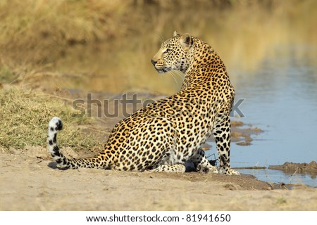 Male leopard (Panthera pardus) at a waterhole, Sabie-Sand nature reserve, South Africa - stock photo