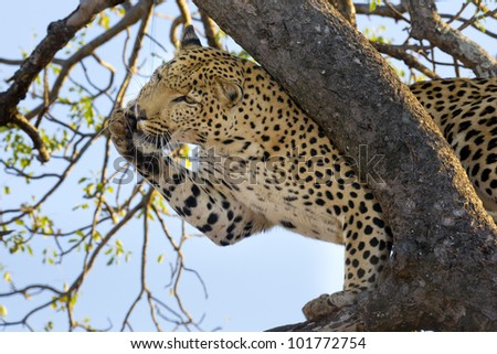 Male Leopard (Panthera pardus)grooming himself in a tree, South Africa