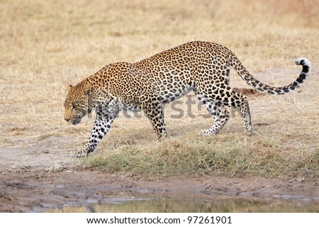 Male leopard (Panthera pardus) walking, Sabie-Sand nature reserve, South Africa - stock photo
