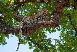 Male leopard photographed resting in a tree on a safari in South Africa