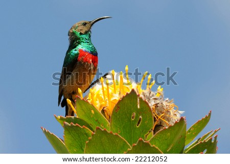 male lesser double collared sunbird
