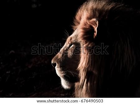 Male lion #676490503