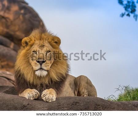 male lion #735713020