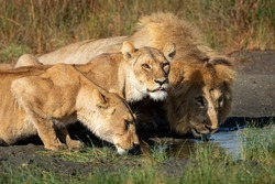 Male lion and two female lionesses crouching down to lower level to drink water in late afternoon sun in Ndutu Tanzania