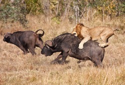 Male lion attack huge buffalo bull while riding on his back