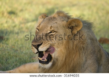 Male lion cleaning himself.