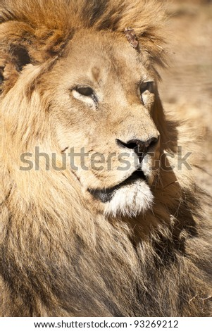Shutterstock Male lion    Close up portrait of a male lion, the king of animals