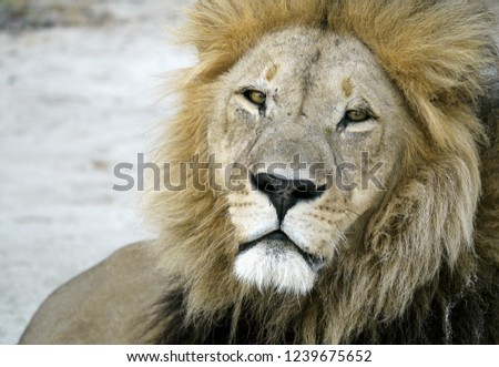 Male Lion facing camera #1239675652