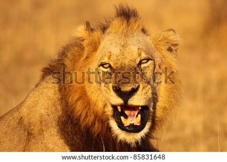 Male lion fierce growl