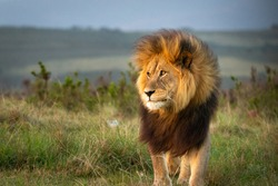 Male lion in South Africa walking through grass and observing the environment