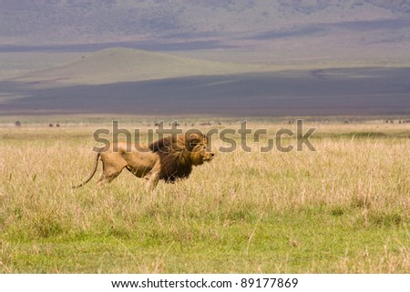 Male Lion in the Serengeti, Mane in the wind