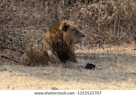 Male lion inside Gir national park, Guajarat, India