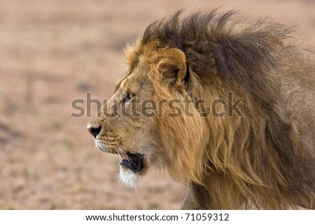 male lion king portrait - scarface in africa - stock photo