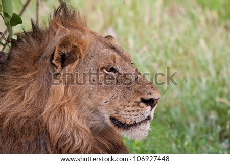 Male lion lying in the shade staring in front of him