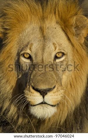 Male Lion (Panthera leo) portrait