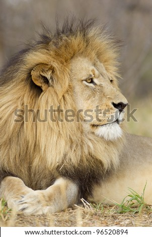 Male Lion (Panthera leo) portrait, Kruger Park, South Africa