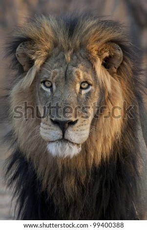 Male Lion (Panthera leo) portrait, South Africa