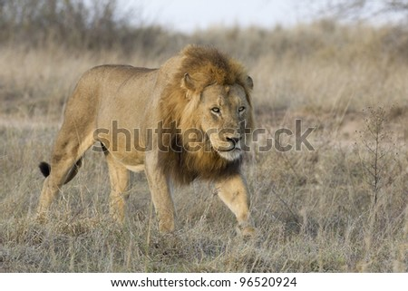 Male Lion (Panthera leo) walking in South Africa's Kruger Park