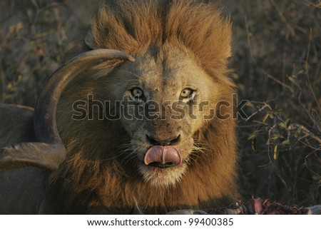 Male Lion (Panthera leo) with Kudu kill, South Africa