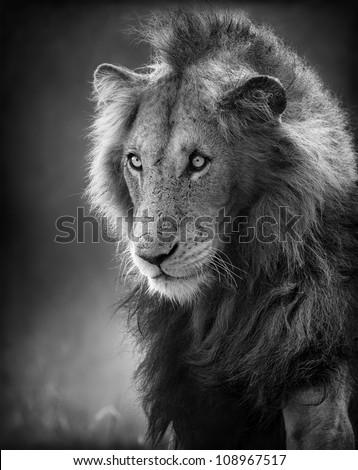 Male Lion Portrait (Artistic processing) - Kruger National Park
