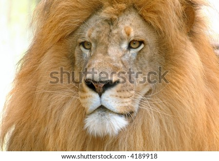 Male lion portrait, captive