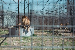 Male lion rescue behind cage during feeding in captivity
