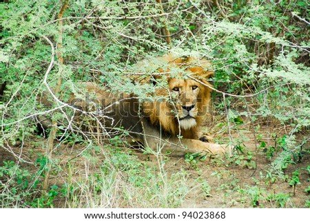 Male lion resting, Murchison Falls National Park (Uganda)