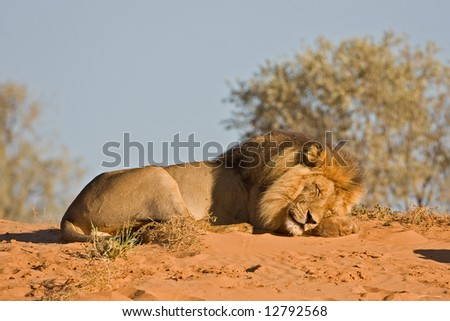 Male lion resting on top of sand dune; Panthera leo; Kalahari desert; South Africa