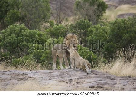 Male Lion returns to the pride in the Masai Mara