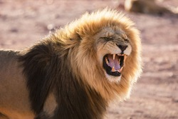 Male lion roaring in backlight afternoon sun in Africa.