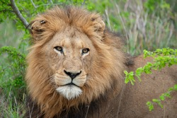 Male Lion seen on a safari in South Africa