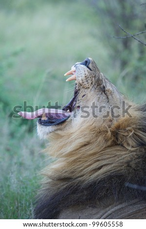 Male lion showing his teeth during a yawn