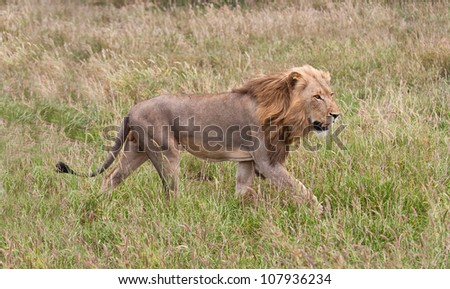 Male lion staling his prey through the grass