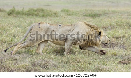 Male Lion stalking, (Panthera leo), Ngorongoro Crater Tanzania