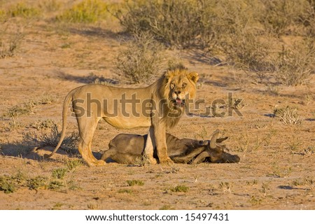 Male lion standing at his prey; Panthera leo; Kalahari desert; South Africa