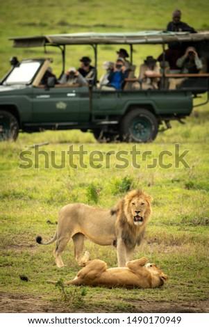 Male lion stands near lioness near truck #1490170949