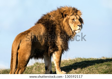 male lion stood on the crest of a grassy hill against a background of blue sky/Lion