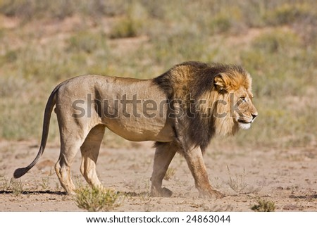 Male lion walking in dry riverbed; Panthera leo; Kalahari desert; South Africa